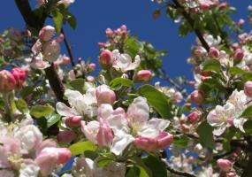 Apple tree with flowers